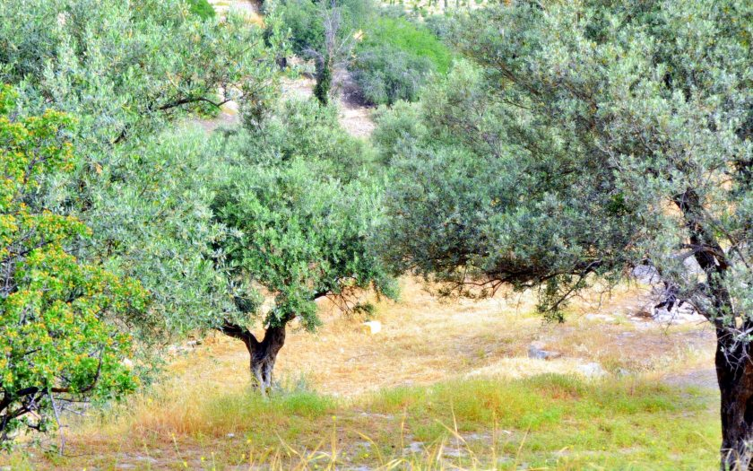 The grove of Olive trees on the Mount of Olives.